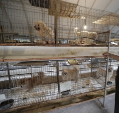 south-korea-puppy-farms.j2